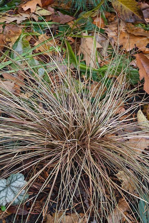Ornamental grass sedge Carex flagellifera Toffee Twist in garden