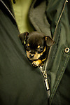 Chihuahua<br /> <br /> Shopping cart has 3 Tabs:<br /> <br /> 1) Rights-Managed downloads for Commercial Use<br /> <br /> 2) Print sizes from wallet to 20x30<br /> <br /> 3) Merchandise items like T-shirts and refrigerator magnets
