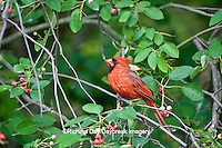 01530-20716 Northern Cardinal (Cardinalis cardinalis) male in Serviceberry Bush (Amelanchier canadensis) Marion Co., IL