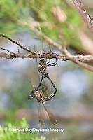 06544-002.03 Hine's Emerald (Somatochlora hineana) male and female mating, Federally Endangered Species Reynolds Co, MO