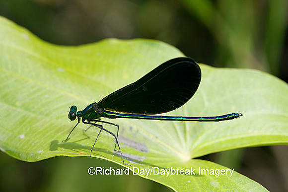 06014-001.04 Ebony Jewelwing (Calopteryx maculata) male, Lawrence Co. IL