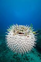 longspine porcupinefish, Diodon holocanthus, Maui, Hawaii, USA, Pacific Ocean