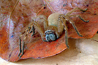 Australian Huntsman spiders belong to the Family Sparassidae (formerly Heteropodidae) and are famed as being the hairy so-called 'tarantulas' on house walls that terrify people by scuttling out from behind curtains.
