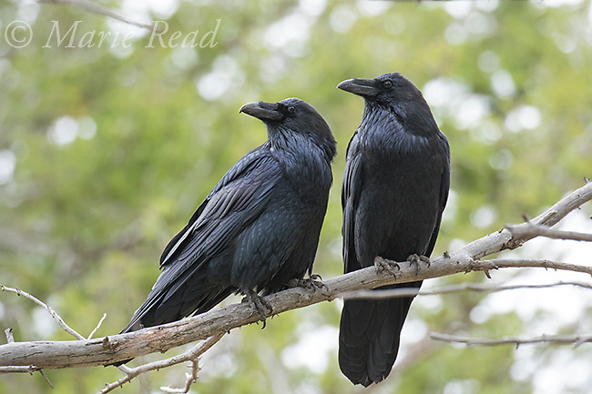 Common Raven (Corvus corax), pair perched together, Lamar Valley, Yellowstone National Park, Wyoming, USA