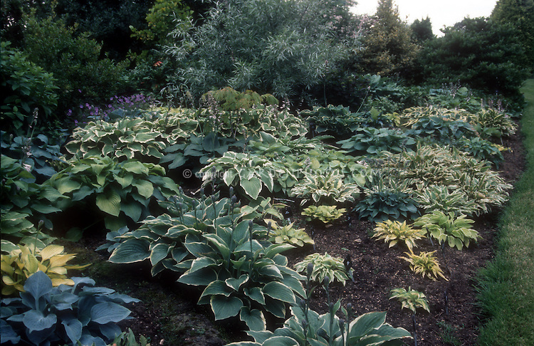Lots Of Hostas Planted Together Plant Flower Stock Photography