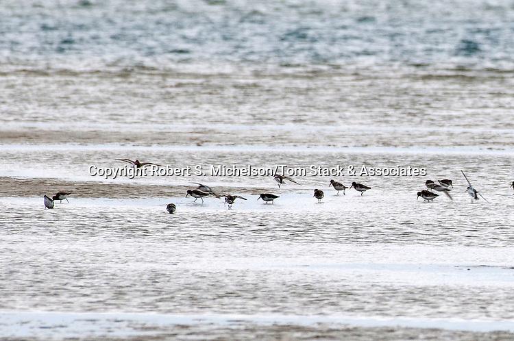 Several Sanderlings feeding on sand flat, South Beach, Chatham, Massachusetts