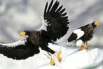 Steller s Sea Eagle, Haliaeetus pelagicus, in flight, flying, taking off, on sea pack ice, Okhotsk Sea, Rausu, Hokkaido, Japan, japanese, Asian, wilderness, wild, untamed, photography, ornithology, snow, bird of prey, Vulnerable.Japan....