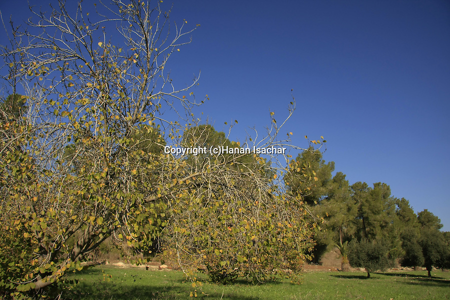 Israel, Shephelah, the Malachim (angels) forest