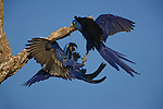 Hyacinth Macaws, Pantanal, Brazil