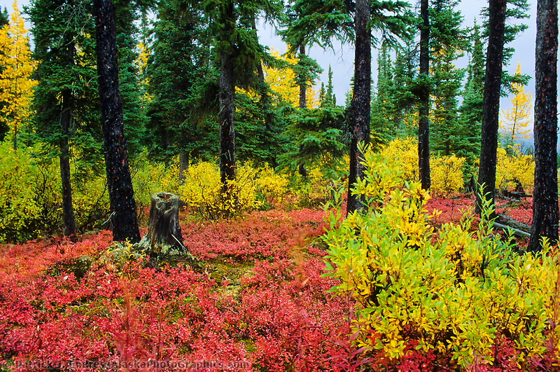 Boreal forest floor, Spruce, Willow, Blueberry, Aspen trees. Interior, Alaska