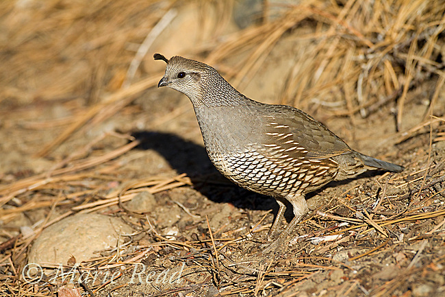 California Quail (Callipepla californica), adult female, Mono Lake Basin, California, USA