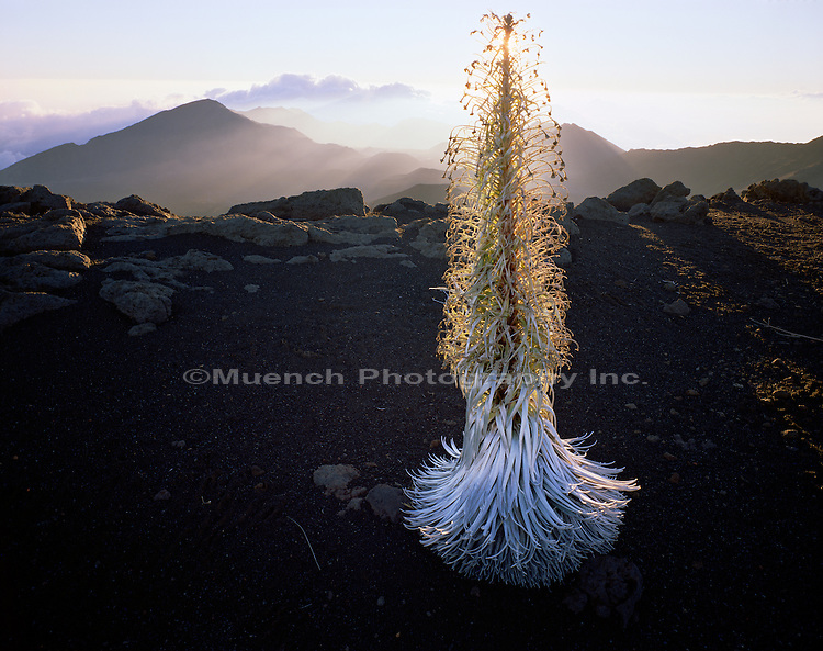 Silversword, Maui Haleakala National Park, HAWAII