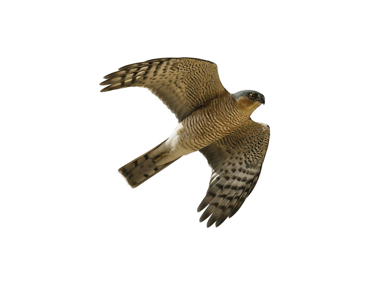 Sparrowhawk Accipiter nisus - Male in flight. W 60-75cm. Widespread but secretive raptor that catches small birds in flight in surprise, low-level attacks. Has relatively short, rounded wings, long, barred tail, long legs and staring yellow eyes. Male is much smaller than female and also separable on plumage details. Adult male has blue-grey upperparts; pale underparts are strongly barred and reddish brown on body and wing coverts. Adult female has grey-brown upperparts and pale underparts with fine, dark barring. Juvenile has brownish upperparts, and pale underparts with broad, brown barring. Voice Utters a shrill kew-kew-kew in alarm. Status Common, associated mainly with wooded habitats, both rural and suburban.