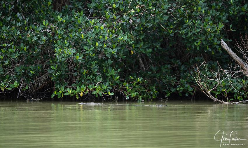 An American Crocodile, Crocodylus acutus, in the UNESCO<br /> Ria Lagartos  Biosphere Reserve in Yucatan, Mexico.
