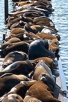Sealions, Astoria, Oregon