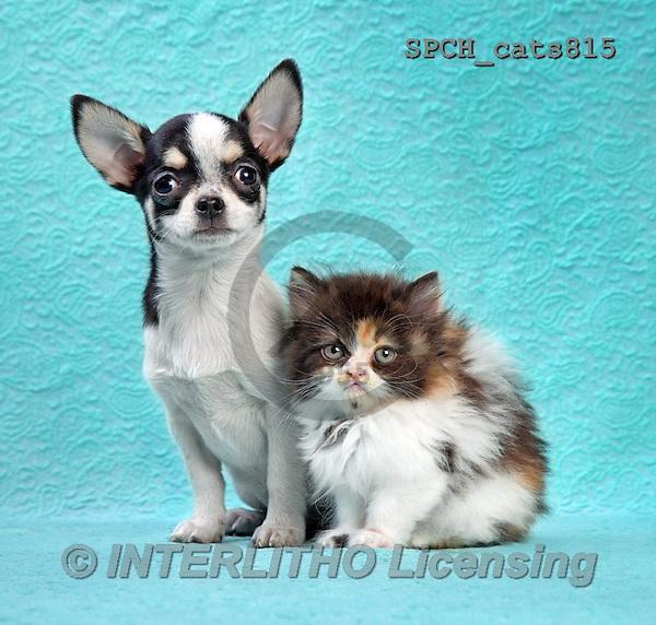 Xavier, ANIMALS, REALISTISCHE TIERE, ANIMALES REALISTICOS, cats, photos+++++,SPCHCATS815,#A#