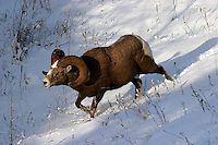 A robust Bighorn Sheep (Ovis canadensis)  rushes down the slope to engage a competitor.  Kootenay NP, BC, Canada