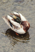 A mallard duck tries to clean it's self in a pool of water along the beach in Port Angeles, Washington