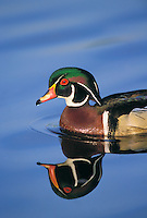 Wood Duck drake. Coastal British Columbia, Canada. (Aix sponsa).