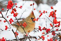 01530-21704 Northern Cardinal (Cardinalis cardinalis) female in Common Winterberry bush (Ilex verticillata) in winter, Marion Co. IL
