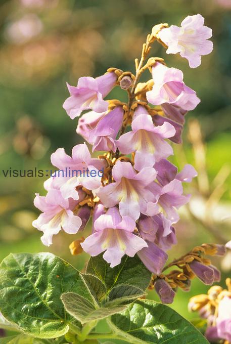 Princess or Empress Tree flowers (Paulownia tomentosa).