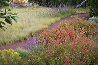 Path in drought tolerant garden between Blue Grama meadow lawn substitute and low border with Fragrant Sumac, Rhus aromatica 'Gro-lo' red fall color groundcover shrub