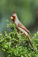 Pyrrhuloxia (Cardinalis sinuatus), male perched, Rio Grande Valley, Texas, USA