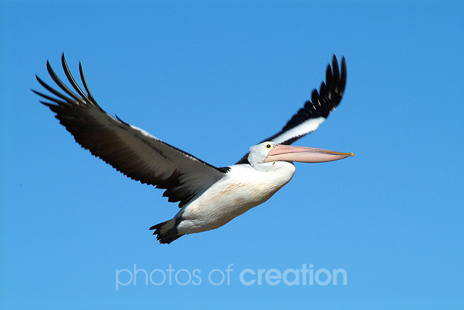 Pelican in Flight. Australian Pelican - pelicanus conspiciallatus