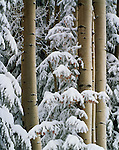 Aspen and Spruce Coconino NF  ARIZONA