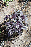 DARK OPAL BASIL, HERB, OCIMUM 'DARK OPAL', WITH DRIP IRRIGATION