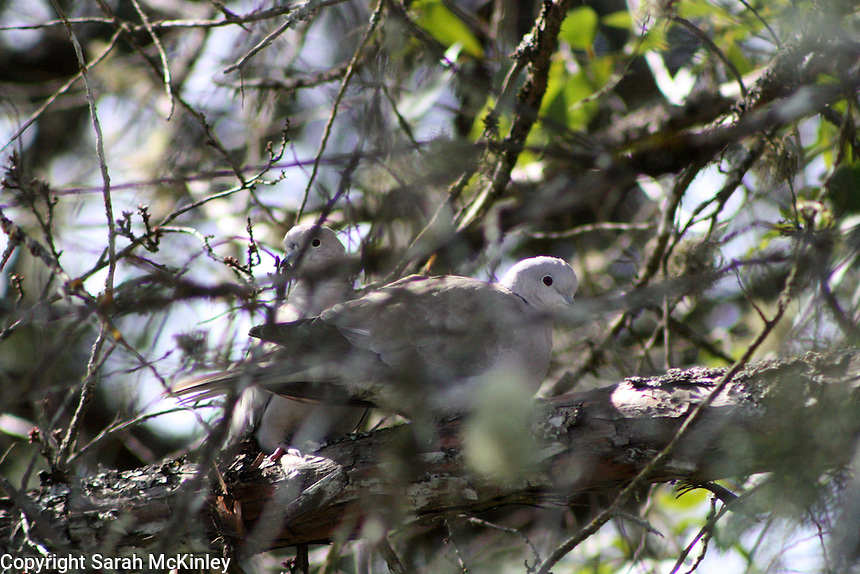 A pair Ring-Neck Doves Shelter the branches of a yew outside Willits in Mendocino County in Northern California.