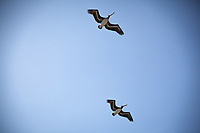 Two Brown pelicans in a low level fly-over at the San Leandro Marina Park on a late summer afternoon.