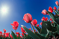 Red tulips from very low angle, Cincinnati, Ohio