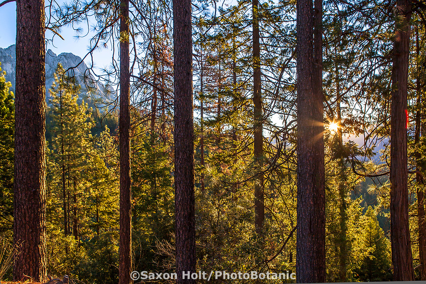 Pinus ponderosa trees (Ponderosa Pines or Western Yellow-Pine) in morning dawn light; Castle Crags State Park; Shasta-Trinity National Forest, mixed conifer woodland California