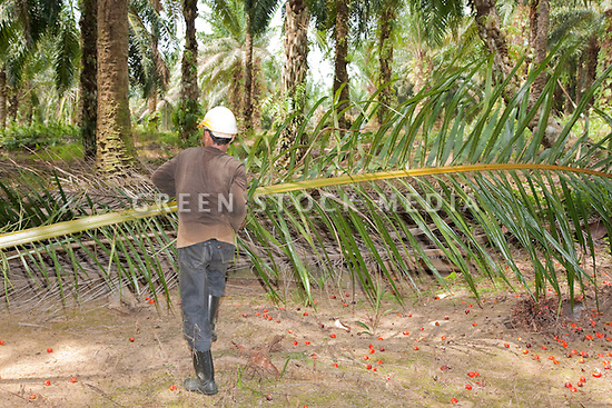A worker carrying a fresh cut oil palm fronds, with red palm fruits on ground. The Sindora Palm Oil Plantation, owned by Kulim, is green certified by the Roundtable on Sustainable Palm Oil (RSPO) for its environmental, economic, and socially sustainable practices. Johor Bahru, Malaysia