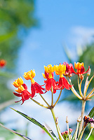 Asclepias curassavica 'Red Butterflies' annual butterfly flower milkweed in red and yellow flowers