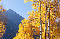 Morning aspen with mountainside, near Crystal, Colorado