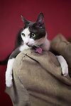 "Cat portrait of grey and white ""Violet"" on couch arm, red wall behind, NYC"
