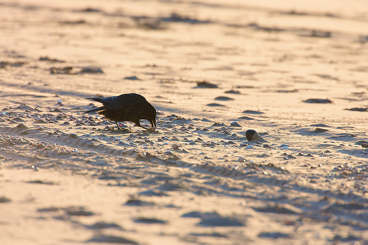 Carrion Crow (Corvus corone corone) feeding on molluscs on sandy beach, Ainsdale, with a very cold winter wind whipping up the sand in the last sunlight of the day.
