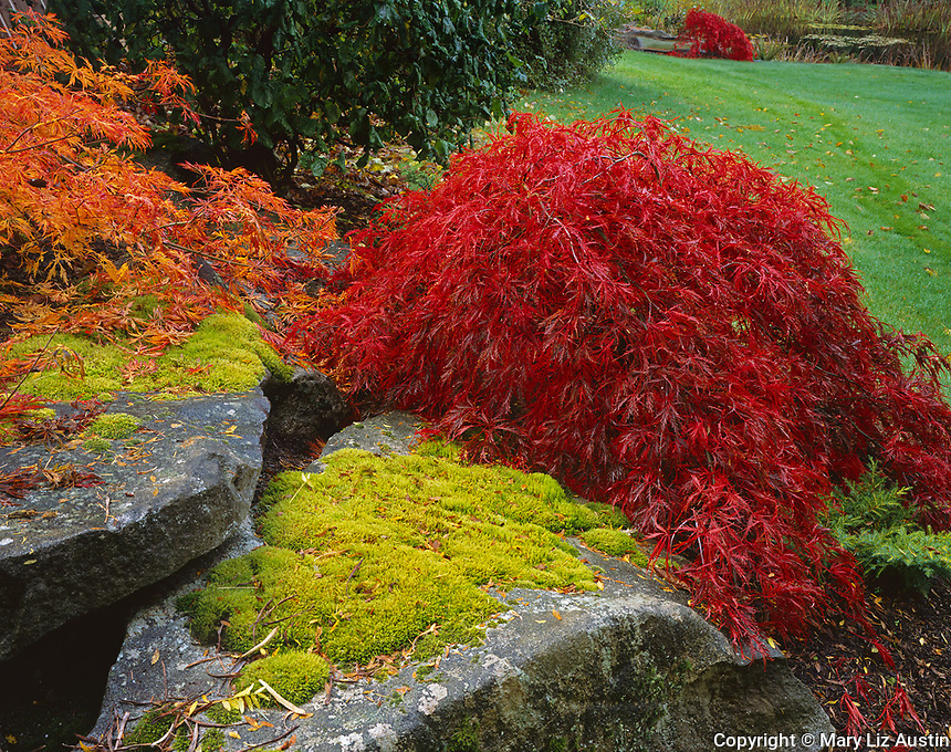 Vashon Island, WA   <br /> The weeping form of a Japanese maple (Acer palmatum disectum) echoed in the foregreound and background with vibrant red leaves of autumn