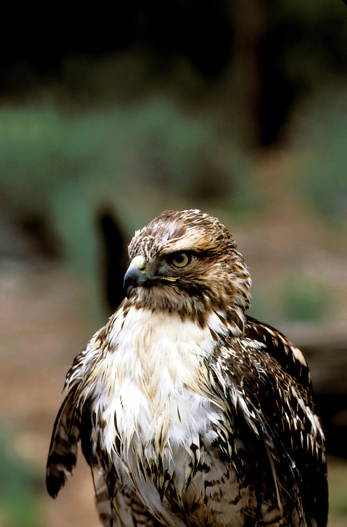 FL: Florida Everglades National Park,.red tail hawk, bird..Photo Copyright: Lee Foster, lee@fostertravel.com, www.fostertravel.com, (510) 549-2202.Image: flever248