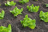 Kopfsalat, Kopf-Salat, Salat, Blattsalat, Blatt-Salat, Salatanbau im Beet, Lactuca sativa, Lettuce