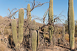 Sabino Canyon, Tucson, Arizona; several Saguaro Cactus (Carnegiea gigantea) growing amongst a dying Palo Verde tree