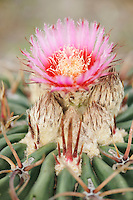 Texas Horse Crippler (Echinocactus texensis), blooming, Fennessey Ranch, Refugio, Corpus Christi, Coastal Bend, Texas Coast, USA