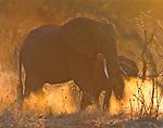 African elephants tramp through dry brush, Kwando Reserve, Botswana