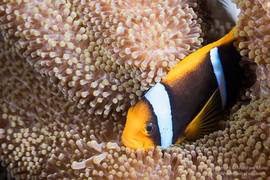 Great Barrier Reef, Australia; an orange-finned anemonefish tucks into it's host anemone