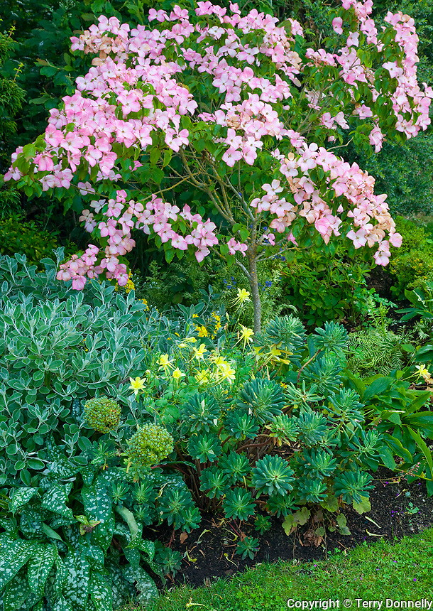 Vashon-Maury Island, WA<br /> Driscoll garden, flowering pink dogwood in a setting with yellow columbine, senecio, arum and euphorbia
