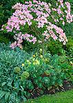 Vashon-Maury Island, WA<br /> Driscoll garden, flowering pink dogwood in a setting with yellow columbine, senecio, arum and euphorbia