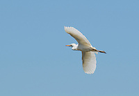 Cattle egret, Bubulcus ibis, flying over the Tarcoles River, Costa Rica