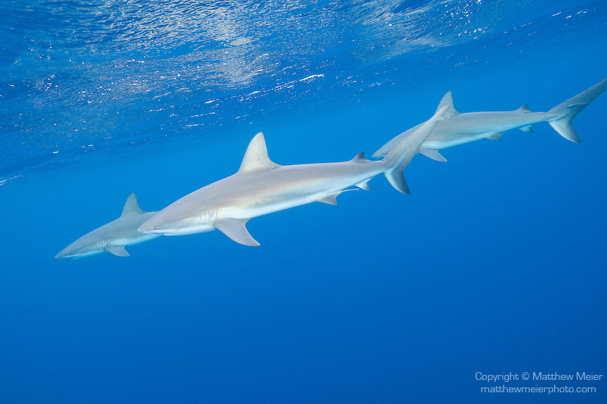 Gardens of the Queen, Cuba; three Caribbean Reef Sharks swimming just below the surface in blue water